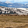 Herd of elk grazing in Grand Teton National Park, Wyoming