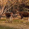 A pair of moose in Teton Village, Jackson Hole, Wyoming