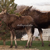 A pair of moose at Teton Village, Jackson Hole, Wyoming