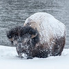 Bison foraging in the snow,Yellowstone National Park, Wyoming