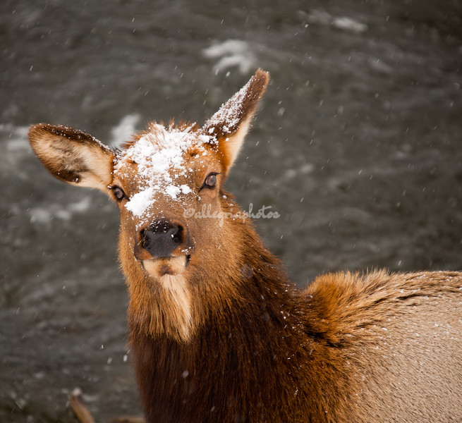 Snow covered elk in Yellowstone National Park