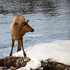 Elk standing on snow covered river bank, Yellowstone National Park
