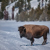 Bison crossing a snow field, Yellowstone National Park,