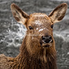 Close up of an elk standing on snow covered river bank Yellowstone National Park