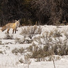 A curious coyote, Grand Teton National Park, Jackson Hole, Wyoming