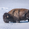 Bison ploughing through the snow, Yellowstone National Park, Wyoming