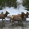 Elk herd in the river, Yellowstone National Park