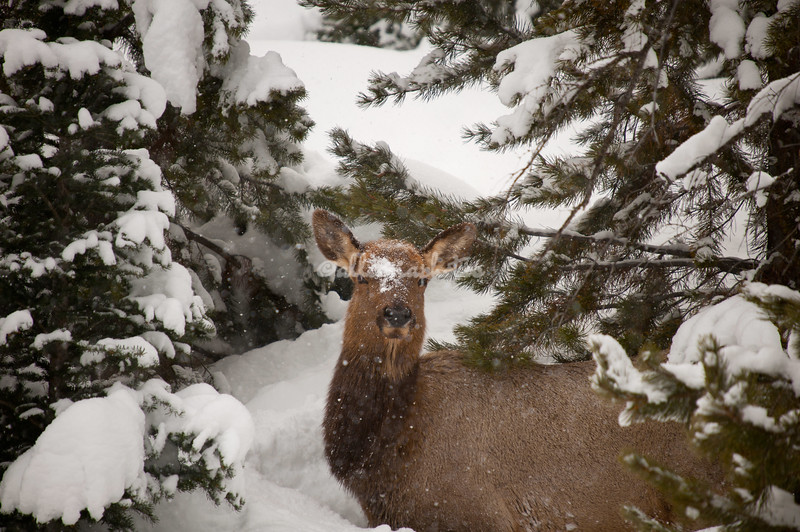 An elk in a snow covered bower, Yellowstone National Park