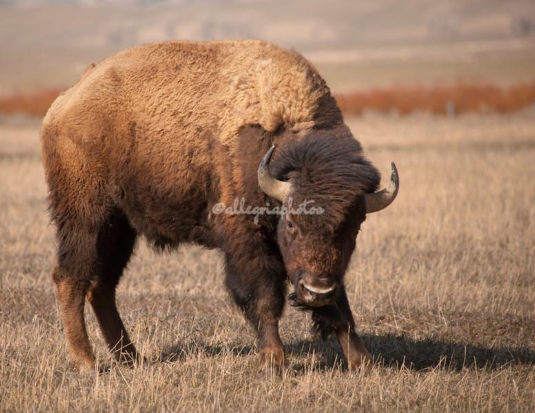 American Bison, Grand Teton National Park, Wyoming