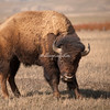 American Bison, Grand Teton National Park, Wyoming