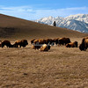 A herd of American Bison in the Elk Preserve, with the Tetons as a background, Wyoming.