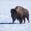 Bison in the snow, Yellowstone National Park