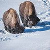 Bison foraging in the snow