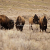 A herd of American bisons in the Elk Preserve, Jackson Hole, Wyoming