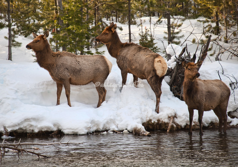 Elk herd on the snow covered river bank