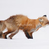 Red fox stretching as it wakes up in Yellowstone National Park