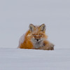 Red fox sleeping on snow, Yellowstone National Park