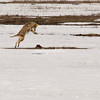 Coyote attacking a ground squirrel, Grand Teton National Park, Jackson Hole, Wyoming