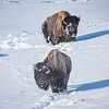 Bison Foraging in the snow, Yellowstone National Park, Wyoming