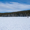 Bison crossing a snow field, Yellowstone National Park