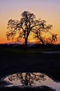 Sentinel Oak