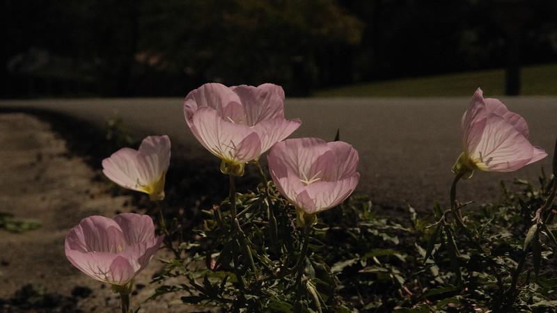 flowers - buttercups