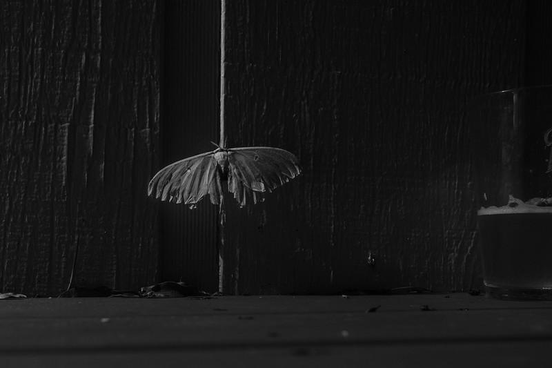 the big green moth