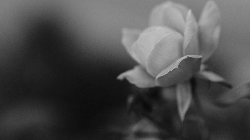 flower in monochrome (acros)