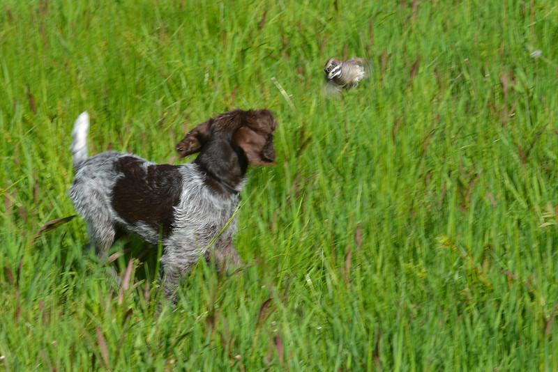 Sach chasing quail