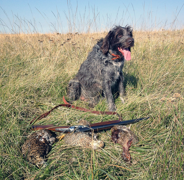 Brook of Hundgaard with mixed bag of Sharptail's and Prairie Chickens, in South Dakota.  Limited out just as it was getting too hot, but Brook is one happy puppy! Photographer:  Andrew Rupp