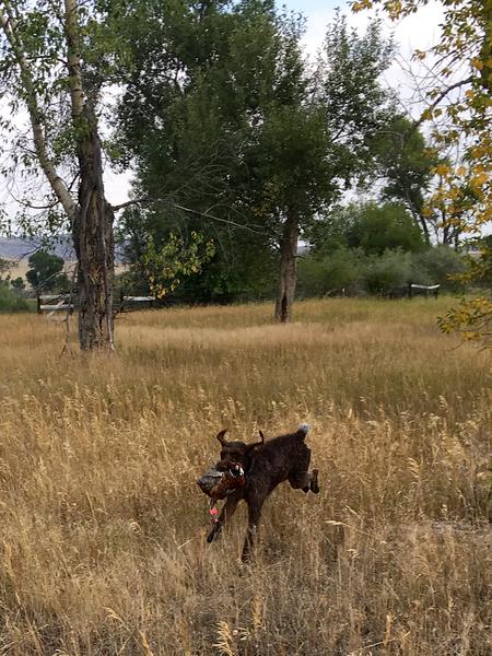 Angie Vallis Baptismi (Tess) retrieves a tracked pheasant with enthusiasm