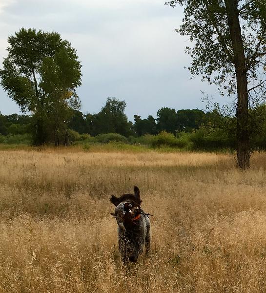 Dorka z Podřipské stráně (Desie) demonstrates how to retrieve a tracked pheasant withj gusto.