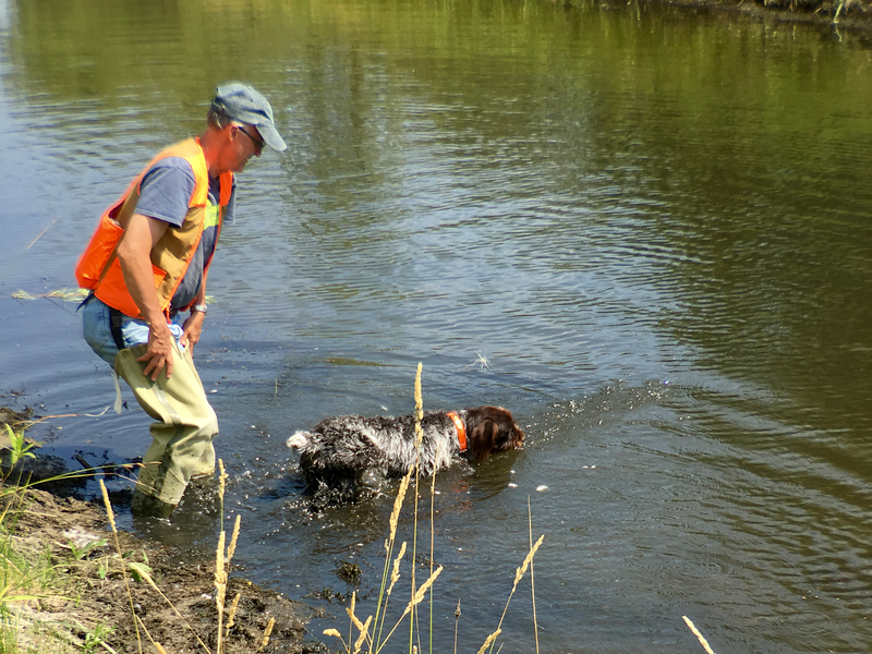 Glenn Ross shows how to encourage a young dog to track by going in the water with her (Dorka z Podřipské stráně) (Desie)
