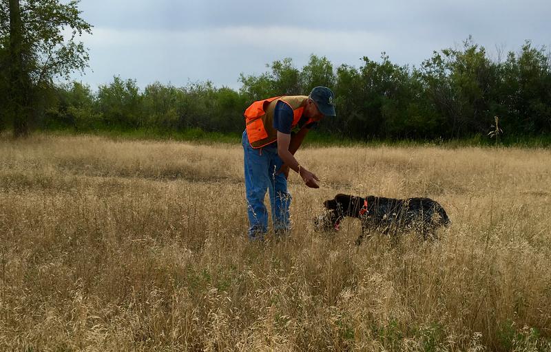 Dorka_z_Podřipské_stráně delivers a pheasant to her handler, Glenn Ross