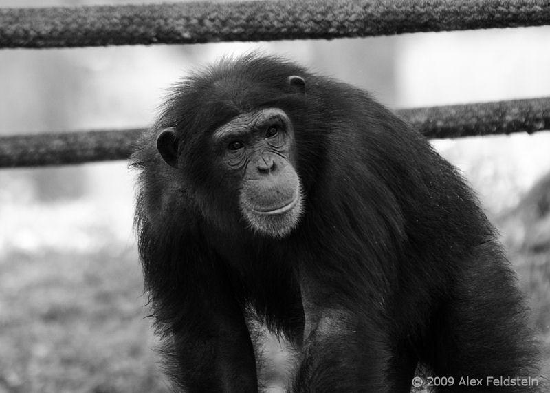 Chimpanzee<br /> Miami