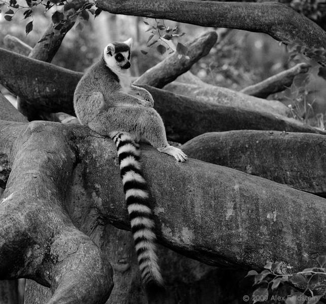 Ring-tailed Lemur<br /> Miami