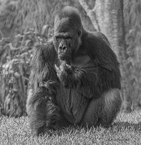 Lowland gorilla<br /> Shango - 31 y/o