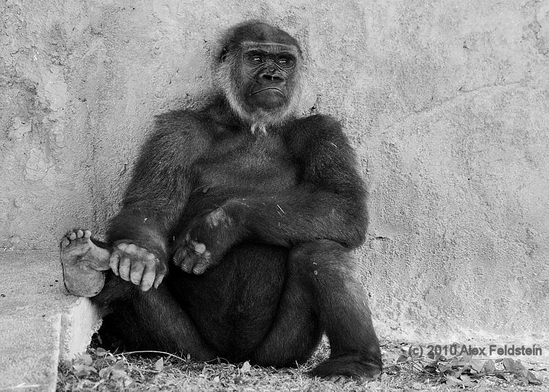 Lowland gorilla<br /> Miami