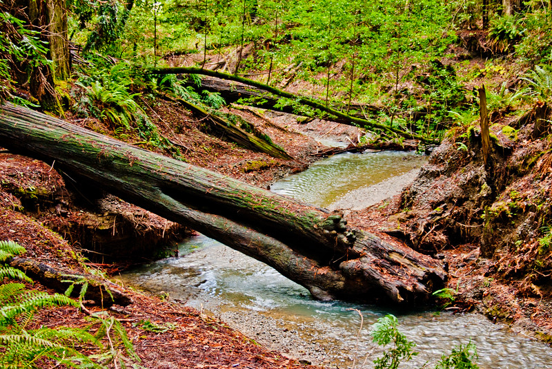 Fallen Tree in the Red Woods Forest