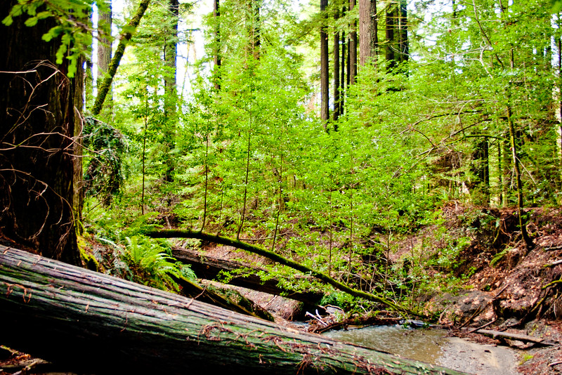 Brook in the Red Woods Forest