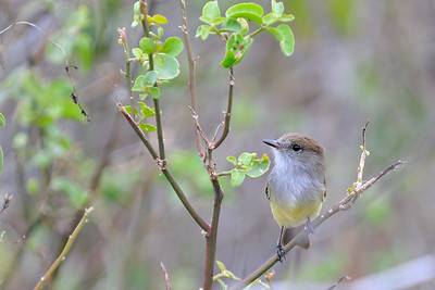 Large Billed Flycatcher