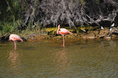 Greater Flamingo-Isabela