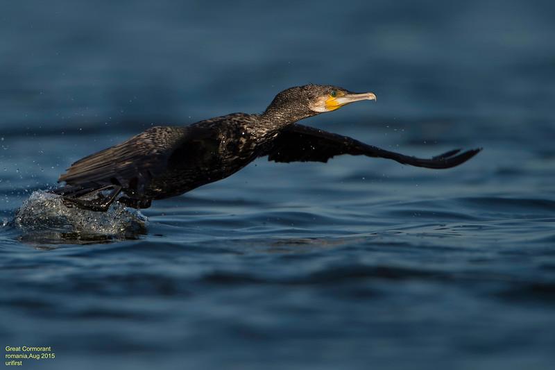 Great Cormorant