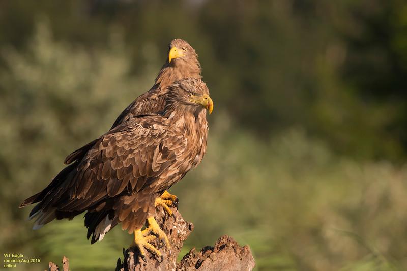 WT Eagle