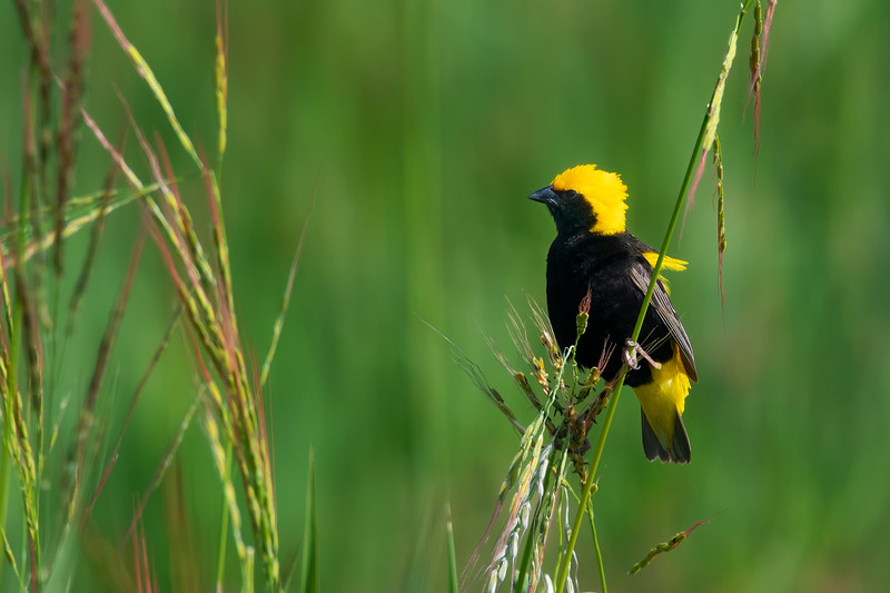 Yellow-crowend Bishop