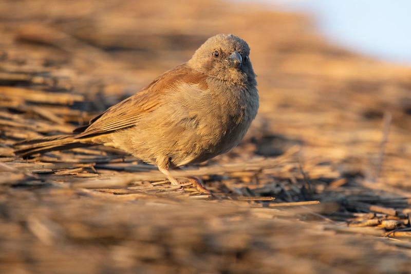 Swianson's Sparrow
