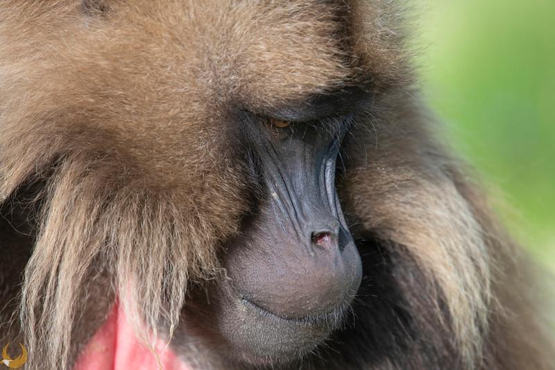 Gelada Monkey