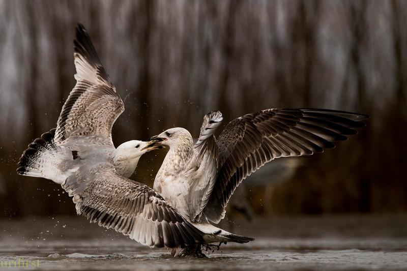 Caspian Gulls