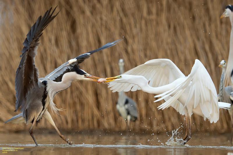 Grey Herons & Great Egrets