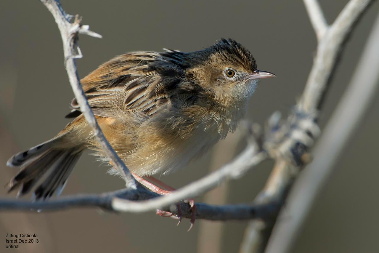 תפר- הציפור הכי קטנה שיש